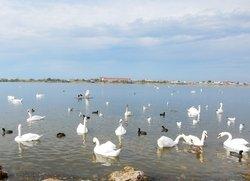 Лебеди на озере Сасык возле Симферопольского шоссе за железнодорожным переездом на въезде в  Евпаторию