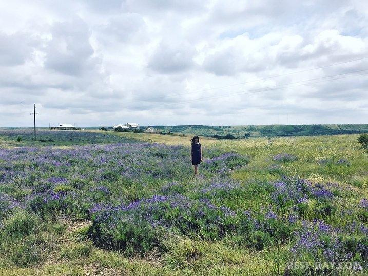 Лавандовое поле в деревне Тургеневка Бахчисарайского района